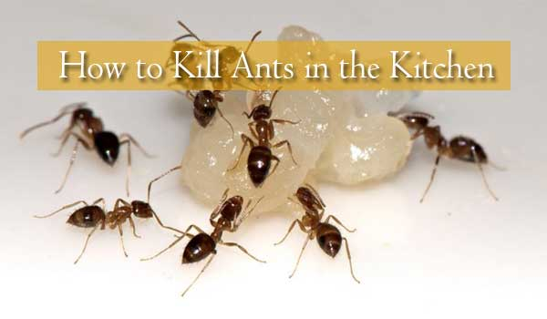 How to kill ants in the kitchen